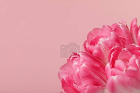 Spring flowers pink tulips isolated on pink background