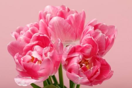 Foto de Tulipanes flor rosas tiernos aislados sobre fondo rosa - Imagen libre de derechos