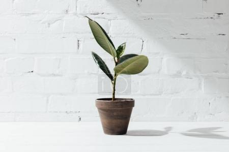 Front view of potted ficus plant on white table