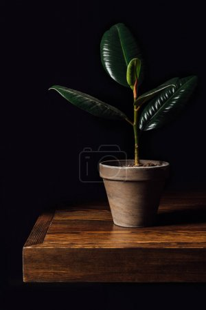 Potted ficus plant on wooden table