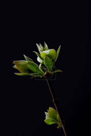 Foto de Closeup foto de hojas en la rama aislado sobre fondo negro - Imagen libre de derechos
