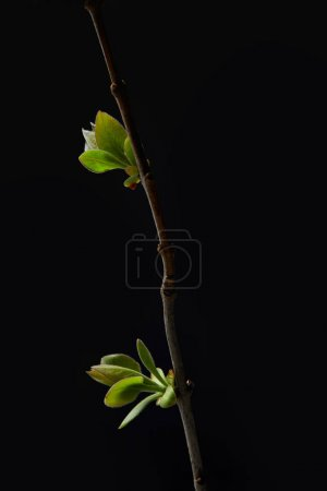 closeup shot of leaves on branch isolated on black background