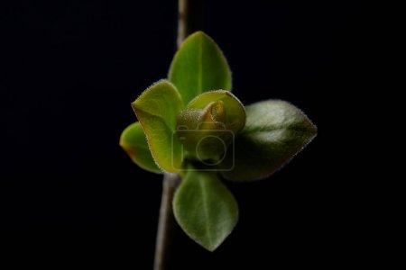 Foto de Vista de cerca de rama con hojas aisladas sobre fondo negro - Imagen libre de derechos
