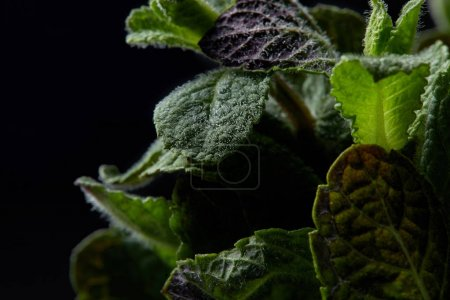 closeup view of mint leaves isolated on black background