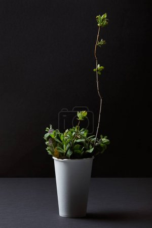 front view of mint leaves and branch in paper cup isolated on black background
