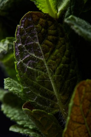 closeup shot of mint leaves isolated on black background