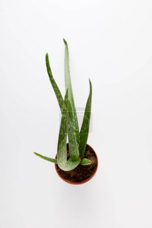 elevated view of aloe vera in pot isolated on white background