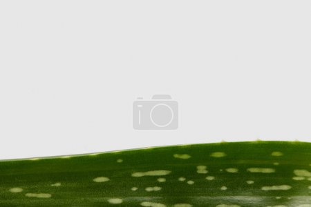 Photo for Closeup shot of aloe vera leaf isolated on white background - Royalty Free Image
