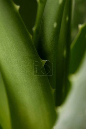 full frame image of aloe vera leaves background