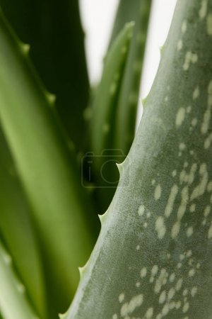 Photo for Closeup view of aloe vera leaves isolated on white blurred background - Royalty Free Image