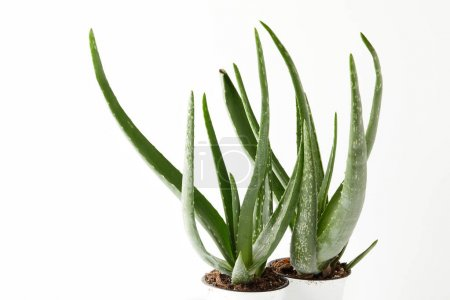 Photo for Close up view of two aloe vera in pots isolated on white background - Royalty Free Image