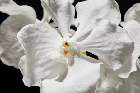 Photo for Close up view of white orchid flower isolated on black - Royalty Free Image
