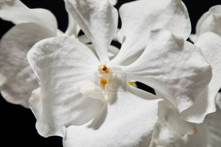 close up view of white orchid flower isolated on black