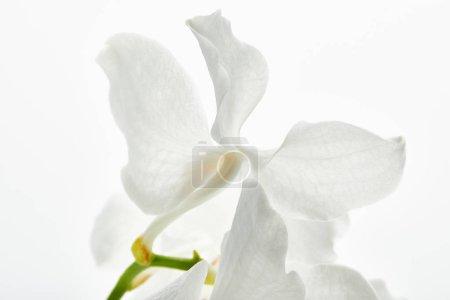 Photo pour Vue rapprochée de belle fleur d'orchidée sur branche isolée sur blanc - image libre de droit