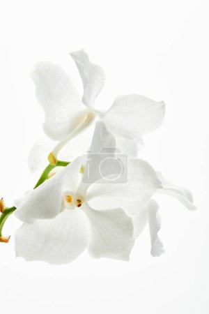 beautiful orchid flowers on branch isolated on white