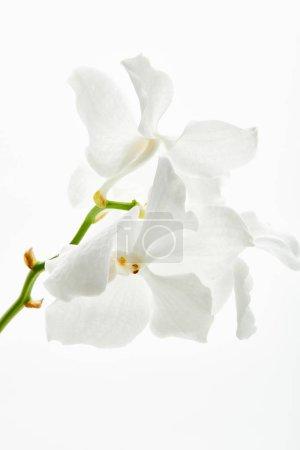 Photo pour Belles fleurs d'orchidées sur les branches isolées sur fond blanc - image libre de droit