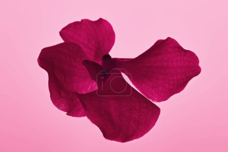 Photo for Colorful pink orchid flower isolated on pink - Royalty Free Image