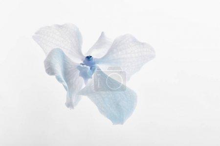 Photo pour Vue rapprochée de bleu naturel belle fleur d'orchidée isolé sur blanc - image libre de droit