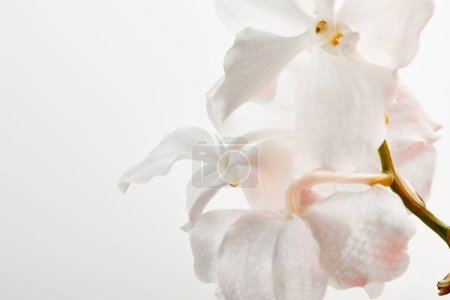 close up view of natural beautiful orchid flowers on branch isolated on white