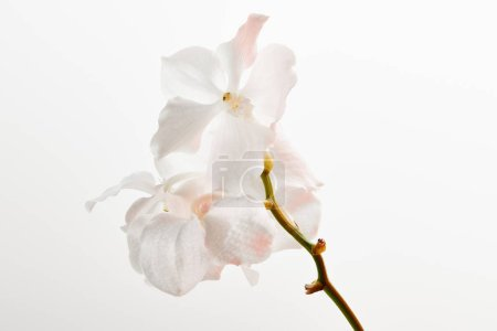 natural beautiful orchid flowers on branch isolated on white