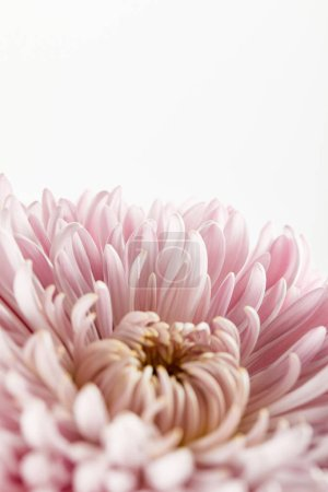 Photo for Close up view of pink chrysanthemum isolated on white - Royalty Free Image