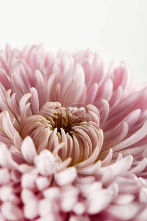 Foto de La vista cercana del crisario rosa aislado en blanco - Imagen libre de derechos