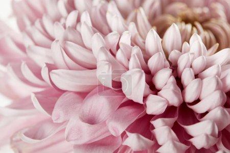 Photo pour Vue de près du chrysanthème rose - image libre de droit