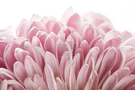 Photo pour Vue rapprochée du chrysanthème rose isolé sur blanc - image libre de droit