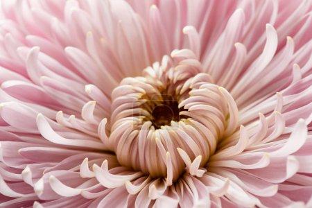 Photo pour Vue rapprochée de la fleur rose de chrysanthème - image libre de droit
