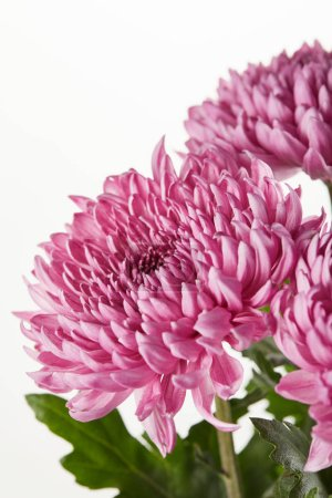 Photo for Purple chrysanthemum flowers isolated on white - Royalty Free Image