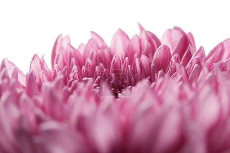 Photo pour Vue rapprochée du chrysanthème violet isolé sur blanc - image libre de droit