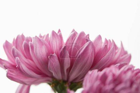 Photo pour Vue de près d'un chrysanthème pourpre isolé sur du blanc - image libre de droit