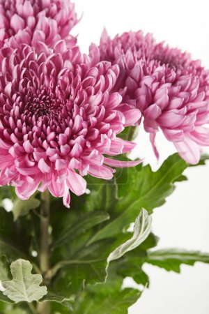 Photo for Bouquet of purple chrysanthemum flowers with green leaves isolated on white - Royalty Free Image
