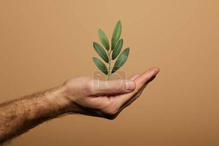 Photo pour Vue recadrée de l'homme tenant la plante verte isolée sur beige - image libre de droit
