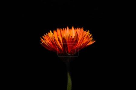 Photo pour Vue rapprochée d'une fleur d'orange de gerbera isolée sur noir - image libre de droit