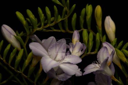 Foto de Flores de Lilac de freesia con manadas aisladas sobre negro. - Imagen libre de derechos