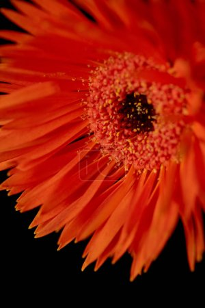 Photo for Close up view of gerbera with orange petals isolated on black - Royalty Free Image