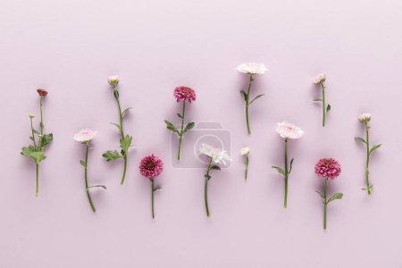Photo pour Couché plat avec printemps fleuri Chrysanthèmes sur fond violet - image libre de droit