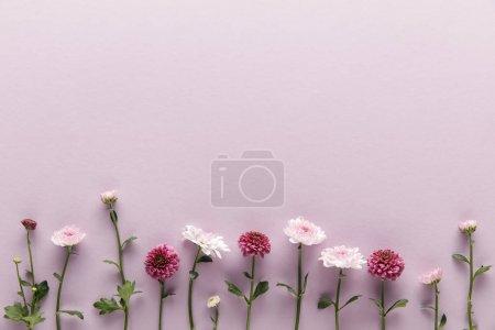 Photo pour Couché plat avec ressort fleuri Chrysanthèmes sur fond violet avec espace de copie - image libre de droit