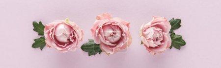 Photo pour Vue de dessus des roses roses en fleurs avec des feuilles sur fond violet, vue panoramique - image libre de droit