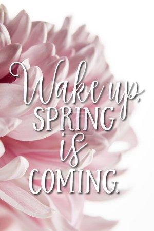 Photo pour Vue rapprochée du chrysanthème rose isolé sur blanc, réveil, le printemps arrive illustration - image libre de droit