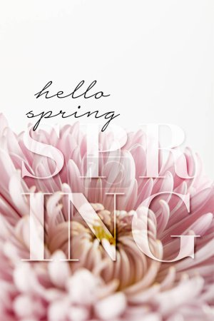 Photo pour Close up view of pink chrysanthemum isolated on white, hello spring illustration - image libre de droit