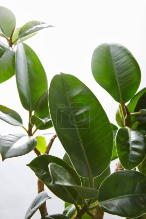 Photo for Selective focus ficus leaves on white background - Royalty Free Image