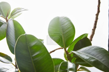 Photo for Selective focus of ficus green leaves on white - Royalty Free Image