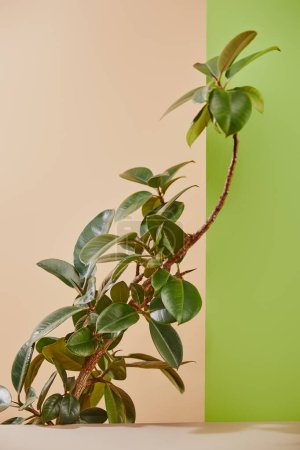 Photo for Plant with green leaves on beige and green background - Royalty Free Image