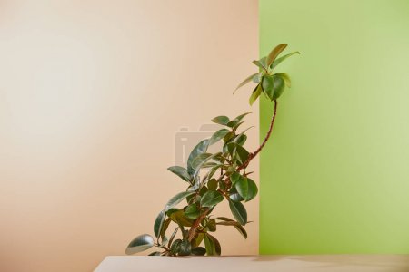 Photo for Natural plant with green leaves behind table on beige and green background - Royalty Free Image