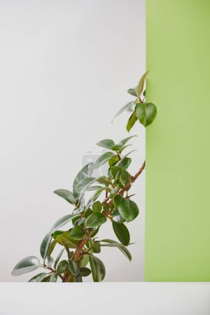 Photo for Natural plant with green leaves behind white surface on grey background - Royalty Free Image