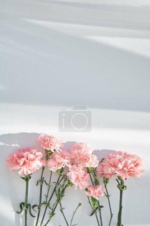 Foto de Vista superior de claveles rosados sobre fondo blanco con luz solar y sombras - Imagen libre de derechos
