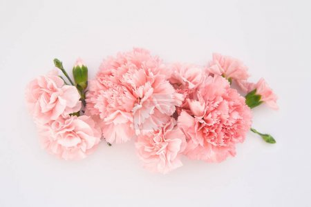 top view of pink carnations on white background
