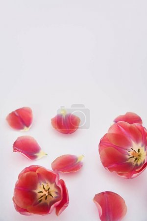 Photo for Pink tulips and petals scattered on white background - Royalty Free Image